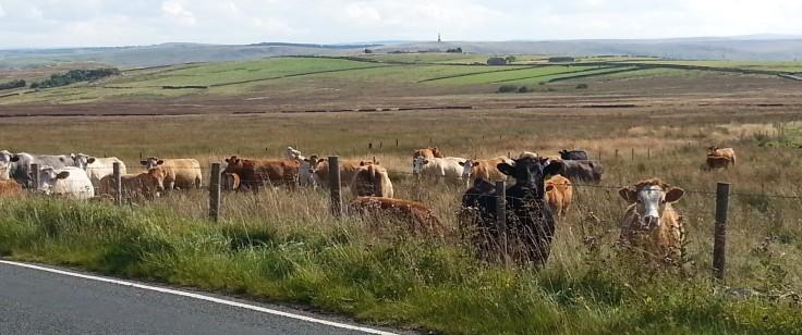 David cows 1