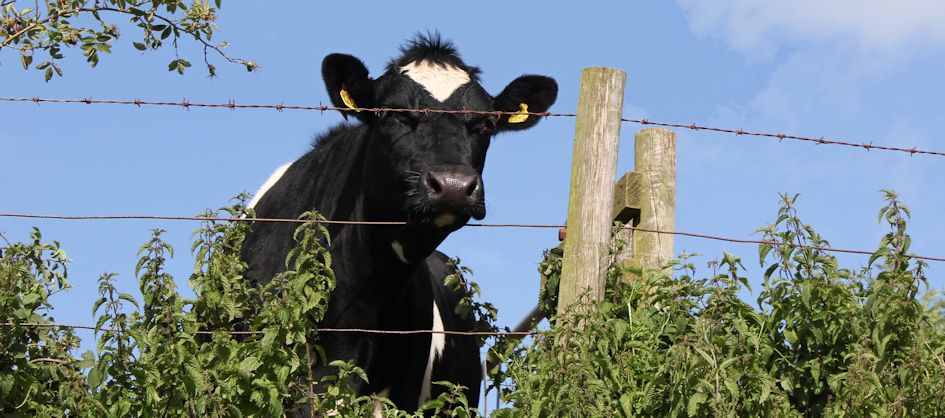 When cows attack - satistics about cattle and the safety of hikers