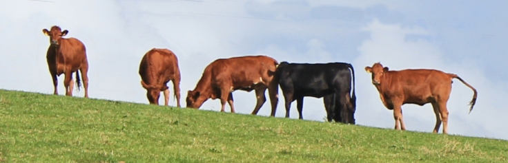 Killer cattle -every cow is a potential killer