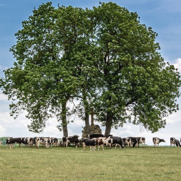 Escape from killer cows by hiding under a tree