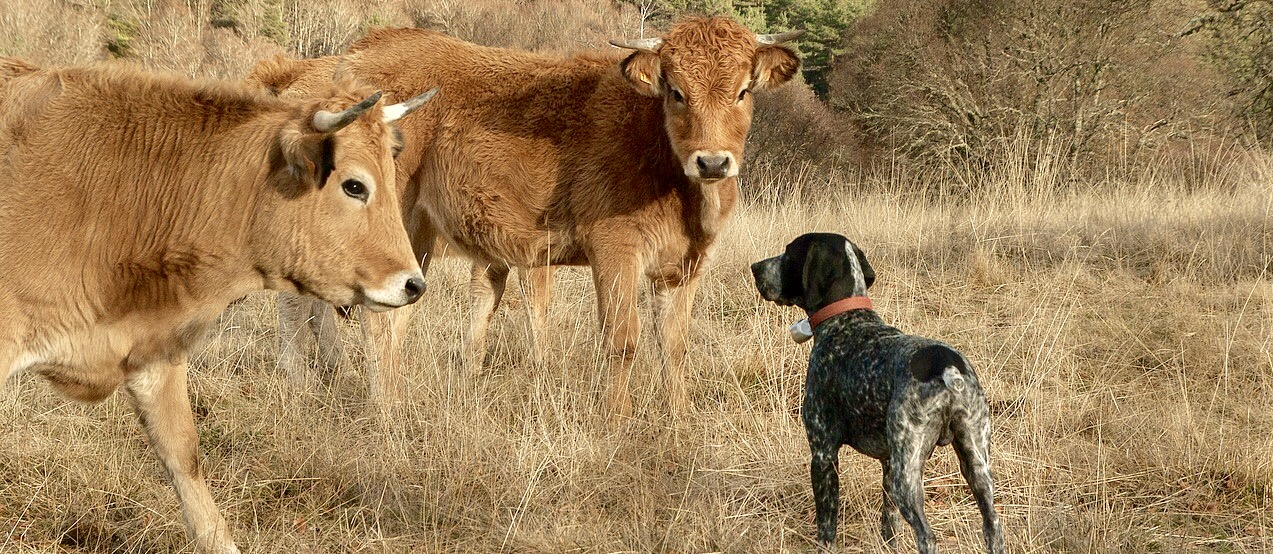 Dogs not always to blame in cattle attacks