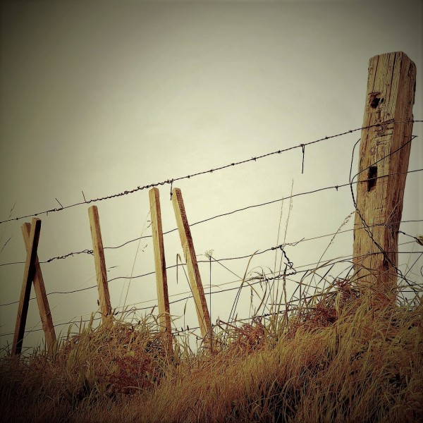 barbed wire fence, escaping from killer cows