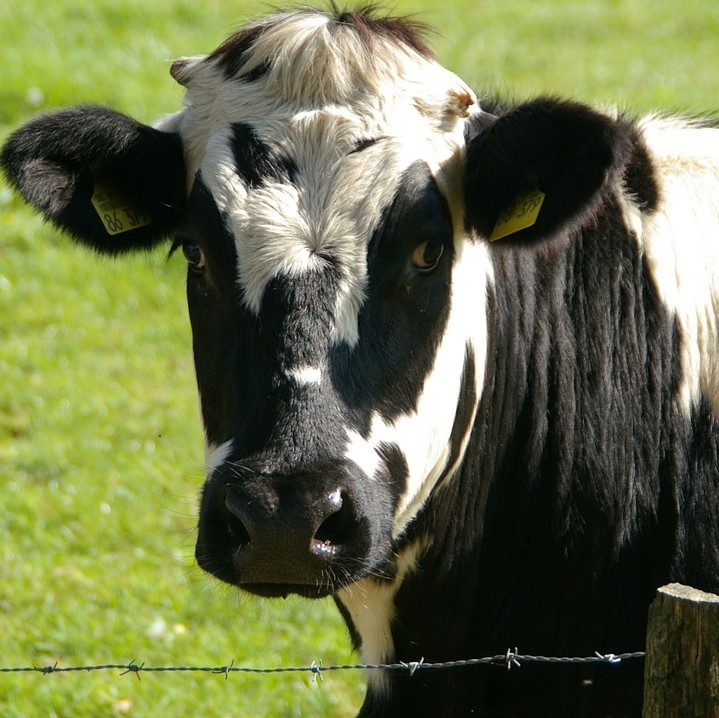 Another cow attack, in County Durham