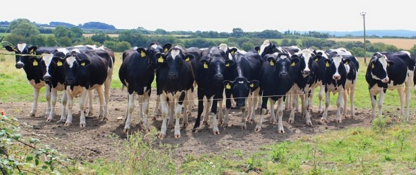 A herd of young heifers, any cow can be dangerous