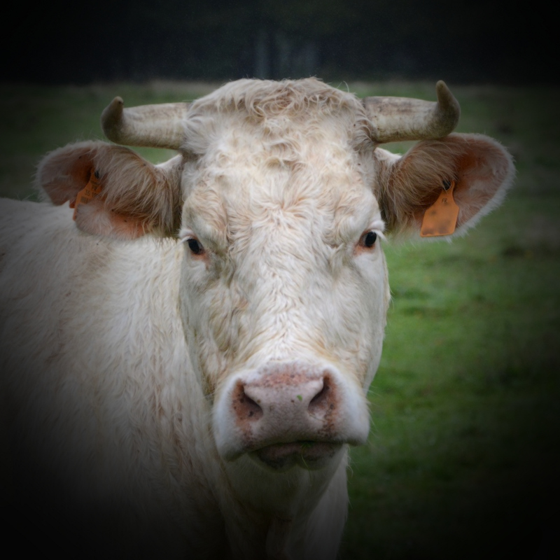 New Forest: cow tramples woman
