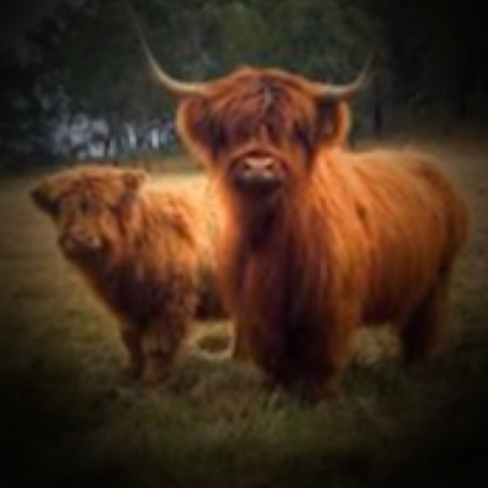 Dexter cows or highland cows, killer cattle