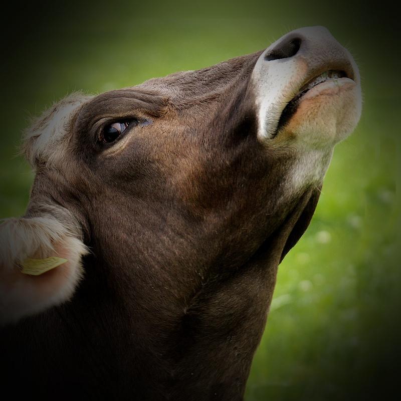 Roaring cattle