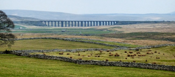 killer cows strike near the Ribblehead Viaduct