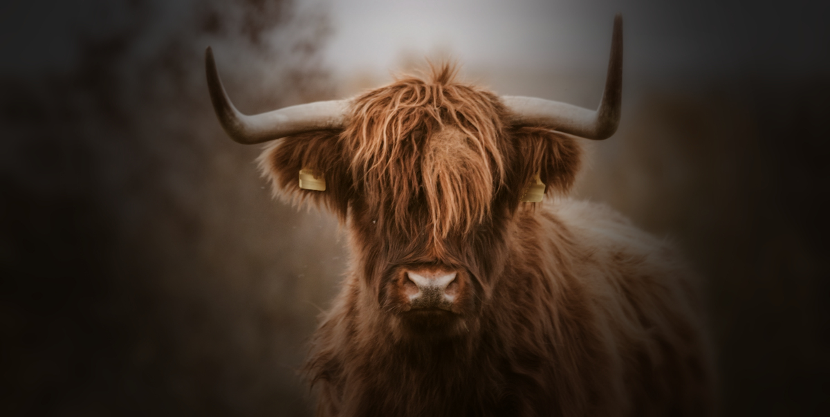 A highland cow, not as docile as they look