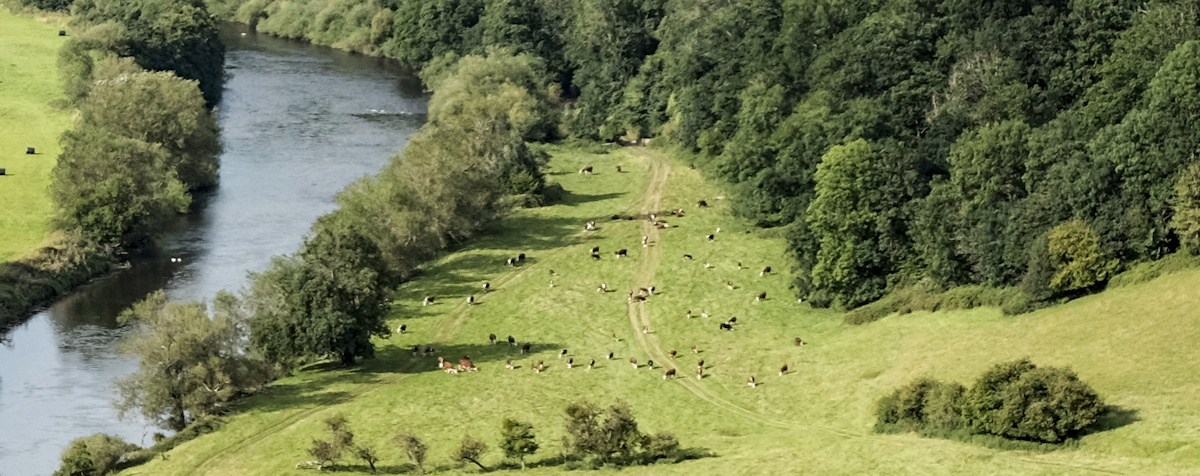 Dangerous cattle on the wye valley path