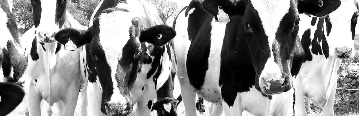 A Farmer's Story: charged by cattle