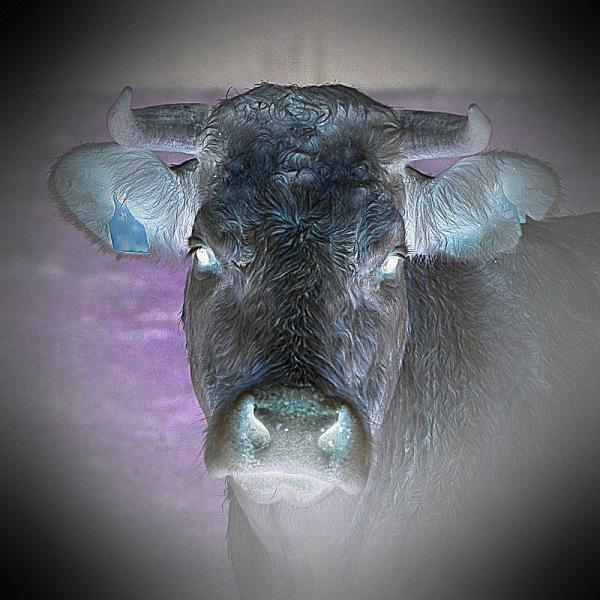 killer cow in Surrey