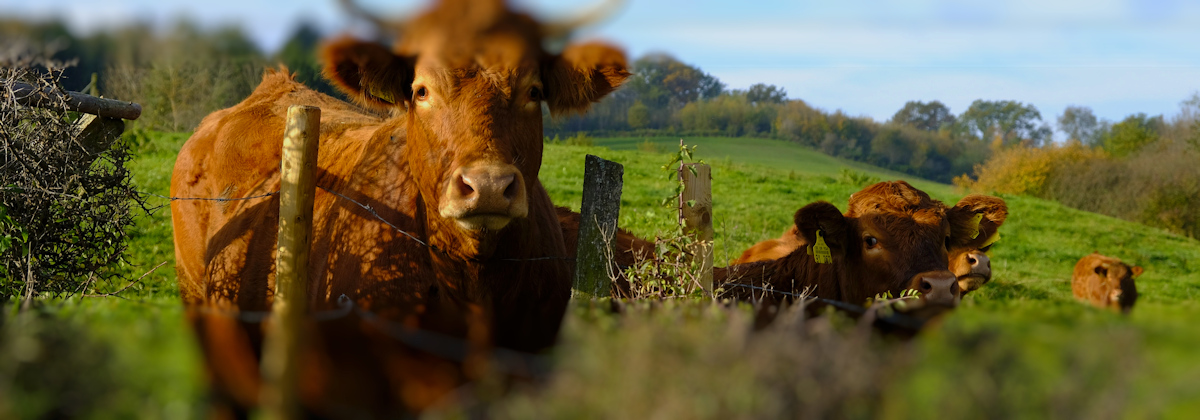 Rose's story: surrounded by charging cows