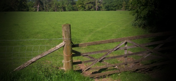 used a gate as a shield against the cows and the bull
